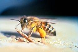 زنبورهای کشنده