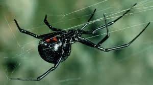 عنکبوت بیوهی سیاه