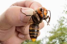 زنبور غول پیکر ژاپنی